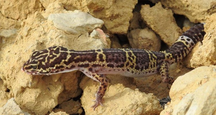 Yet A New Nocturnal Lizard named: 'Baghe Mausuli' Traced in Nepal